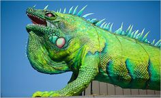 #iguana Jeremy Enlow/Fort Worth Zoo Iggy, a polyurethane and steel iguana sculpture, is lowered onto his new home in Fort Worth, Tex.