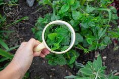 Sorbet, Juice, Food And Drink, Herbs, Yummy Food, Drinks, Cooking, Recipes, Mint