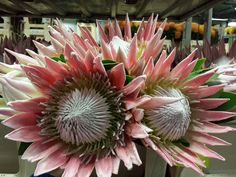 #Protea King; Available at www.barendsen.nl