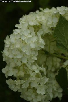 Versoja Vaahteramäeltä Fruit, Garden, Garten, Lawn And Garden, Gardens, Gardening, Outdoor, Yard, Tuin