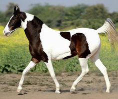 Marwari  mare. photo: Manu Sharma.