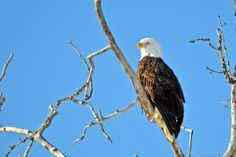 A Bald Eagle taking a sunbath on Fort Wainwright, March 12th, 2013