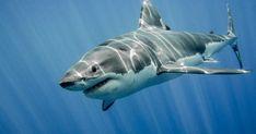 The Great White Shark: King of the Ocean by Ramón Carretero - Photo 124049765 / Spirit Animal Totem, Animal Totems, The Great White, Great White Shark, Hai Tattoos, Shark Activities, Shark Photos, Shark Images, Animaux