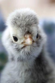 Silver lace polish chick. <3