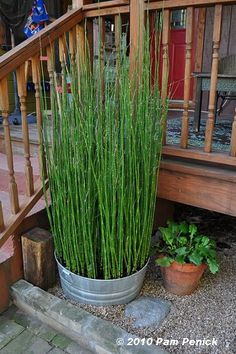 Lookong for inexpensive ideas for around our pool, deck, filter, etc. Here are tall upright plants/grasses in containers. This is horsetail. Keeps it well contained.