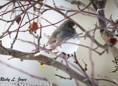 Black Eyed Junco    © Copyright Ricky L.Jones Photography 1995-2013 All rights reserved.