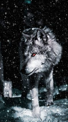 iPhone Wallpapers for iPhone iPhone 8 Plus, iPhone iPhone Plus, iPhone X and iPod Touch High Quality Wallpapers, iPad Backgrounds Wolf Images, Wolf Photos, Wolf Pictures, Artwork Lobo, Wolf Artwork, Wolf Love, Beautiful Wolves, Animals Beautiful, Iphone Wallpaper Wolf