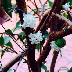 Jaboticaba de vaso no quintal dos Jardins da Babilônia - cá em casa!