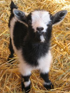 A Pygmy goat! Baby Farm Animals, Animals And Pets, Funny Animals, Cute Animals, Pigmy Goats, Lamas, Dwarf Goats, Cute Goats, Baby Goats