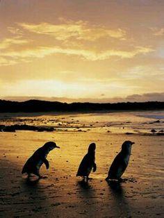 Philip Island elke avond komen de pinguïns uit zee naar hun nestje