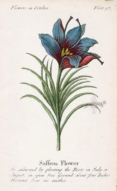 hearthside-reader: Saffron print 1747