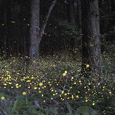 Synchronized fireflies in the Great Smoky Mountain National Park.