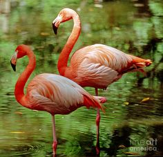 Greater Flamingoes Phoenicopterus Ruber Photograph by Millard H Sharp