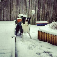 Border collie snow Chippy
