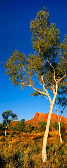 Beautiful landscape with eucalyptus trees in the Northern Territory. Nature Landscape, Landscape Photos, Landscape Paintings, Australian Desert, Australian Plants, Tasmania, Photos Black And White, Nature Photography, Travel Photography
