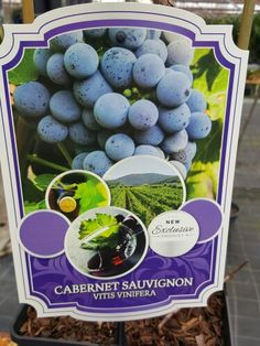 Vitis Cabernet Sauvignon. Gift idea for wine drinking gardeners