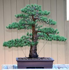 ~ Michael Pollock ~ Scots Pine Bonsai ~ (Pinus sylvestris 'beuvronensis')   Found at a local nursery in 2003. ~