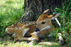 Bambi the baby deer! Whitetail Deer Pictures, Deer Photos, Cute Baby Animals, Animals And Pets, Funny Animals, Wild Animals Photography, Baby Deer, Bambi, Pet Birds