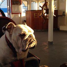 Ute på en båttur #märta #emelie #hammarbysjöstad #bulldog #bulldoglove #bulldog_socal #bulldog_ig_community #pets #engelskbulldog #englischbulldog #englischbulldogs_of_instagram #Padgram