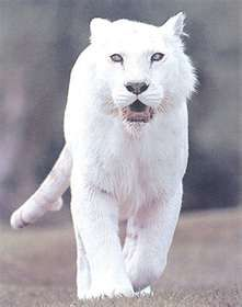 White Tiger  (so rare that only 2 of them are displayed in zoos around the world and only a few dozens are know to be alive in the wild.)