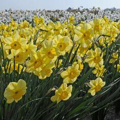 'Vireo' ist eine gelbe, wilde, freche Narzisse. Sie wird ungefähr 30 Zentimeter hoch und hat für eine Miniaturnarzisse relativ große Blüten – etwa drei Zentimeter. Pflanzzeit ist im Herbst - online erhältlich bei www.fluwel.de