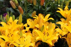 Lilium 'Golden Matrix' - Yellow flowers from May to August, planting position full sun or half shade. Fine Gardening, Colorful Garden, Goods And Services, Yellow Flowers, Garden Furniture, Planting, June, Colour, Crafts