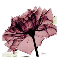 Art Print: Chianti Rose Art Print by Albert Koetsier by Albert Koetsier : Art Floral, Plant Drawing, Drawing Art, Rose Art, Glass Wall Art, Botanical Art, Flower Wall, Oeuvre D'art, Watercolor Flowers