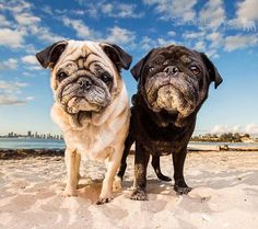 There is something truly incredible about seeing senior pugs captured so beautifully! If you have never had your pug professionally photographed you should. It's worth every single penny. Photo by @sarahlewisphotography Want to be featured on our Instagram? Tag your photos with #thepugdiary for your chance to be featured.