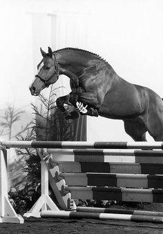 Norman (Nimmerdor x Mary) Dutch Warmblood Stallion