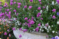 3 Gomphrena pulchella 'Fireworks' is a tough and elegant annual for the summer garden. The first time I saw Gomphrena 'Fireworks' I thought it was Verbena… Globe Amaranth, Summer Garden, Fireworks, Landscape, Flowers, Plants, Purple Flowers, Compost, Flower Arrangements