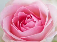 A3 pink rose canvas print by ShereeRichterArt on Etsy, $48.00