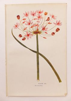 Flowering Rush - Vintage Botanical Print - Flower Picture - Original Antique Bookplate  - home decor on Etsy, £6.00