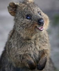 The quokka (Setonix brachyurus), the only member of the genus Setonix, is a small macropod about the size of a domestic cat. Like the other macropods (such as kangaroos and wallabies), the quokka is herbivorous and mainly nocturnal. Happy Animals, Nature Animals, Animals And Pets, Funny Animals, Cute Animals, Animal Quiz, Quokka, Australian Animals, Mundo Animal