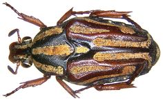 Family: Scarabaeidae Size: 15 to 16.5 mm Location: Indonesia, Moluccas, Bacan, Labuha leg.det. A.Skale, 2006 Photo: U.Schmidt, 2006