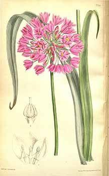 5228 Allium oreophilum C. Meyer [as Allium ostrowskianum Regel]  / Curtis's Botanical Magazine, vol. 127 [ser. 3, vol. 57]: t. 7756 (1901) [M. Smith]