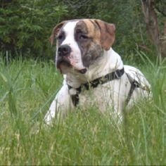 My beautiful American Bulldog