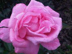 Rosa de Uruapan.