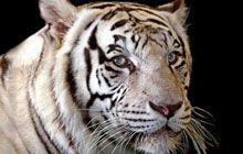 Big Cat Habitat in Sarasota, FL 7$ for kids, 15$ for adults Open Wed-Sun