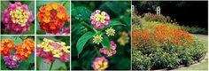 Festón Rose o Lantana cámara.  La característica más grande de esta planta son sus flores de colores mezclados y olor fresco dan una fragancia muy agradable y fuerte. Elimina las impurezas del aire, luchar contra la contaminación dentro de casa.