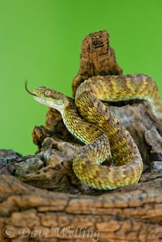 bush viper http://davewelling.photoshelter.com/image/I0000_sajAxiMt.w