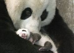Funny pictures about A mother panda and her little cub. Oh, and cool pics about A mother panda and her little cub. Also, A mother panda and her little cub photos. Cute Baby Animals, Animals And Pets, Baby Pandas, Giant Pandas, Wild Animals, Animal Babies, Panda Babies, Bear Animal, Baby Hedgehogs