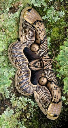 Mariposa: at first glance it looks like a snake.