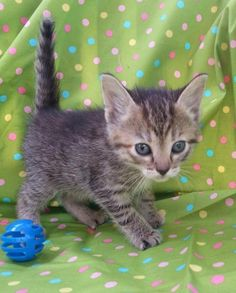 ADOPTED ♡  Meet Mira 22159, a Petfinder adoptable Domestic Short Hair Cat | Prattville, AL | Mira is a 7 week old gray/black tabby, female kitten.Dogs and puppies may be adopted for a fee of...