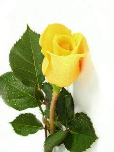 Pretty yellow rose Get wowed with an amazing bouquet… Amazing Flowers, Love Flowers, My Flower, Cactus Flower, Exotic Flowers, Pretty Roses, Beautiful Roses, Flor Magnolia, Rosa Rose