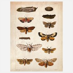Science Moth Print #moth #butterfly
