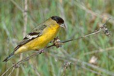 Sacramento Audubon Society - Lesser Goldfinch
