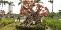 Bán Cây Sộp trồng Công trình, Sân vườn, Quán Cà Phê, Nhà Hàng