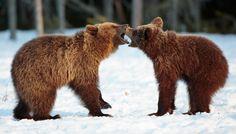 European brown bear/ bruine beer