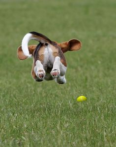 Dumbo Dog flies across the field hunting down round objects...