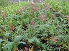 Prairie smoke from St Williams native plant nursery in long point ON